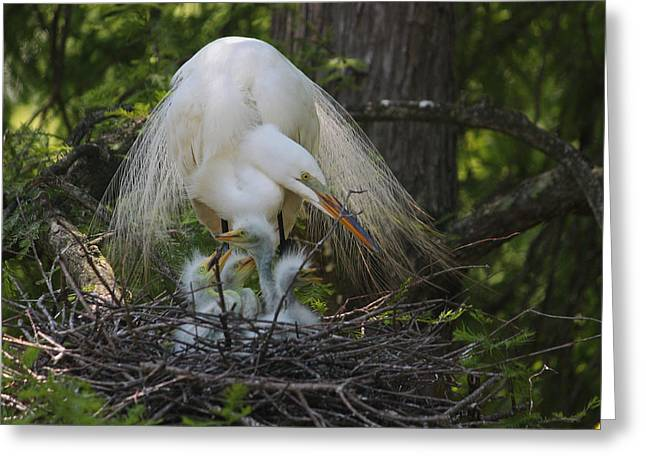 Chick Photographs Greeting Cards - Great White Egret Mom and Chicks IV Greeting Card by Suzanne Gaff