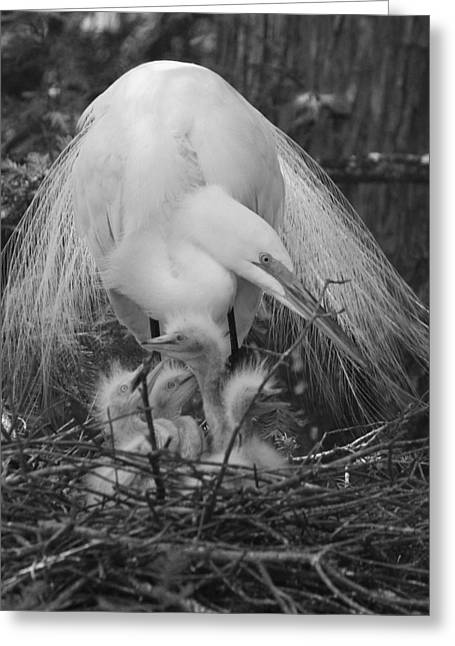 Chick Photographs Greeting Cards - Great White Egret Mom and Chicks - Sheltering Wings Greeting Card by Suzanne Gaff