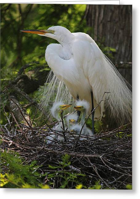 Chick Photographs Greeting Cards - Great White Egret Mom and Chicks Greeting Card by Suzanne Gaff