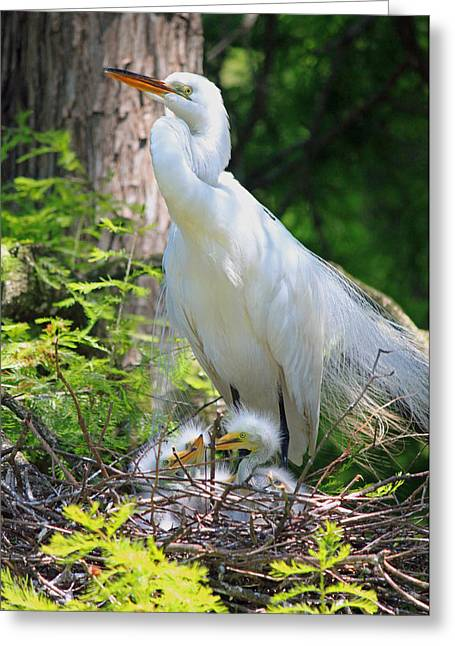 Baby Bird Greeting Cards - Great White Egret Mom and Chicks VI Greeting Card by Suzanne Gaff