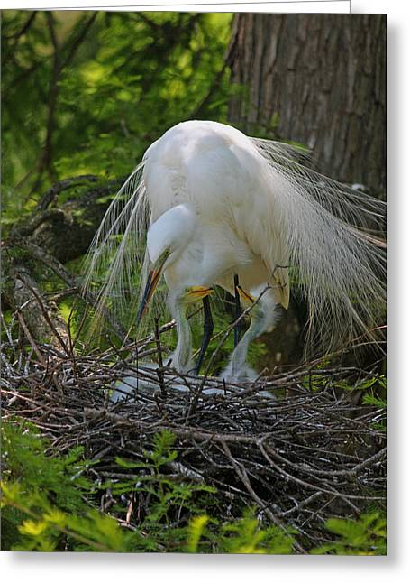 Chick Photographs Greeting Cards - Great White Egret Mom and Chicks XIII Greeting Card by Suzanne Gaff