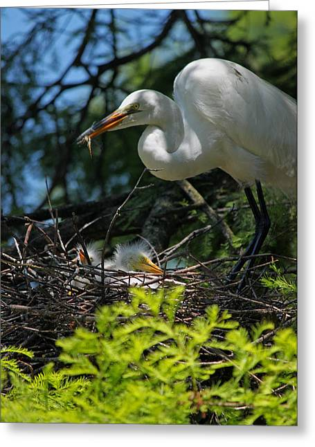 Chick Photographs Greeting Cards - Great White Egret Mom Feeding Her Chicks Greeting Card by Suzanne Gaff