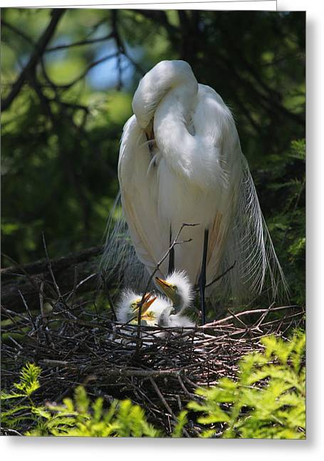 Baby Bird Greeting Cards - Great White Egret Mom Needs a Nap I Greeting Card by Suzanne Gaff