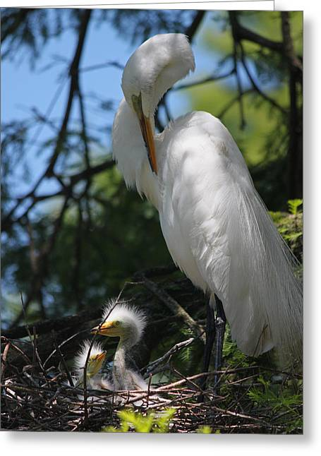 Baby Bird Greeting Cards - Great White Egret Mom Needs a Nap II Greeting Card by Suzanne Gaff