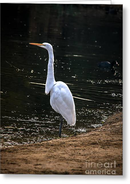 Great White Egret Greeting Card by Robert Bales