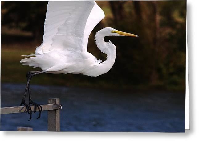 Hunting Bird Greeting Cards - Great White Egret Takeoff Greeting Card by Roy Williams