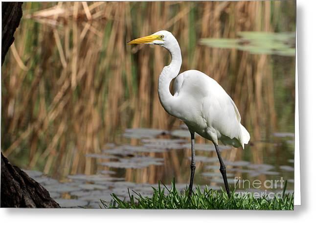 Wakodahatchee Greeting Cards - Great White Egret Taking a Stroll Greeting Card by Sabrina L Ryan