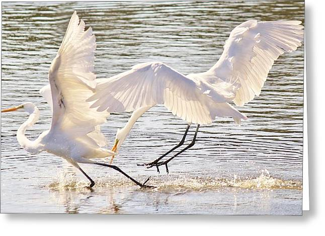 Paulette Thomas Greeting Cards - Great White Egrets Greeting Card by Paulette Thomas