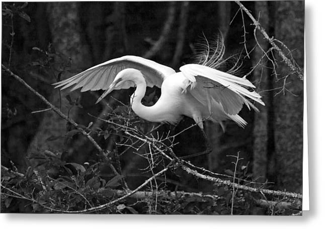 Wildlife Refuge. Greeting Cards - Great White Heron BW Greeting Card by Jamie Anderson
