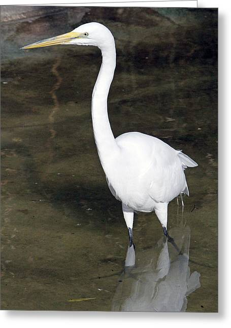 Great Birds Pyrography Greeting Cards - Great White Heron On The Hunt Greeting Card by Shoal Hollingsworth