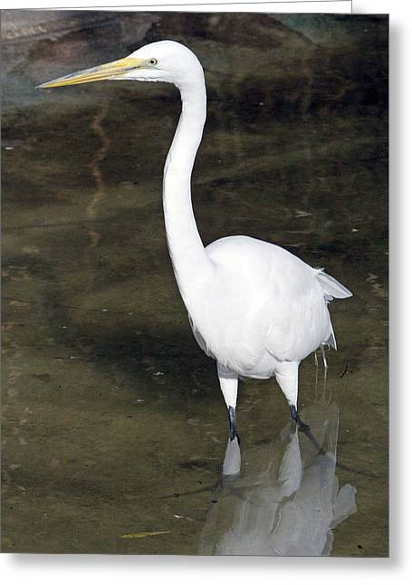 Water Fowl Pyrography Greeting Cards - Great White Heron On The Hunt Greeting Card by Shoal Hollingsworth