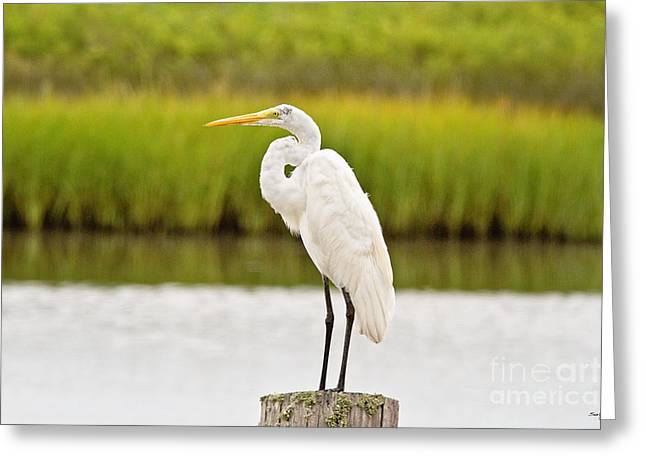 Great White Heron Greeting Card by Scott Pellegrin