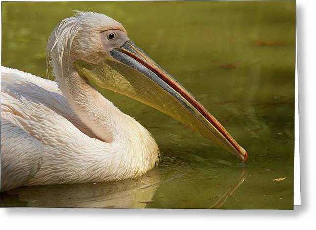 Great White Pelican On Water Greeting Card by Bob Gibbons