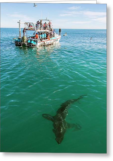 Great White Shark And Boat Greeting Card by Peter Chadwick