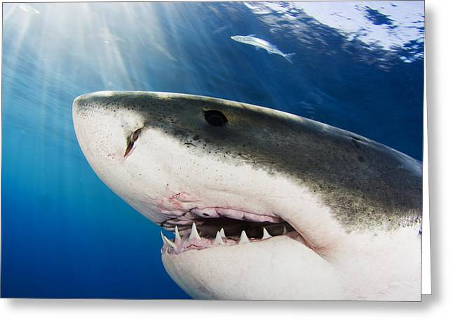 Undersea Photography Greeting Cards - Great White Shark Carcharodon Greeting Card by Dave Fleetham