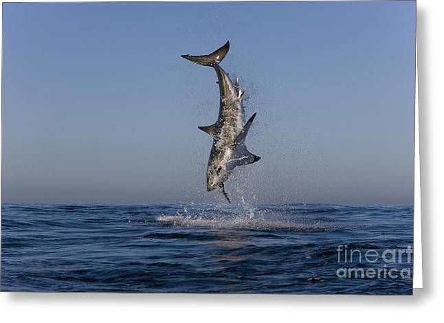 White Shark Greeting Cards - Great White Shark Greeting Card by Jean-Louis Klein and Marie-Luce Hubert