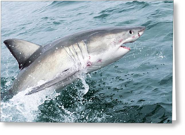 White Shark Greeting Cards - Great white shark Greeting Card by Science Photo Library