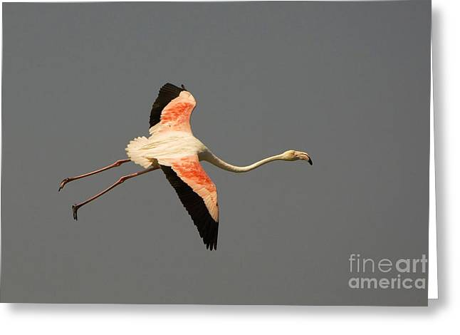 Greater Flamingos Greeting Cards - Greater Flamingo Greeting Card by John Shaw