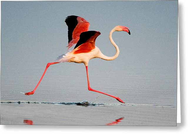 Greater Flamingos Greeting Cards - Greater Flamingo Phoenicopterus Roseus Greeting Card by Panoramic Images