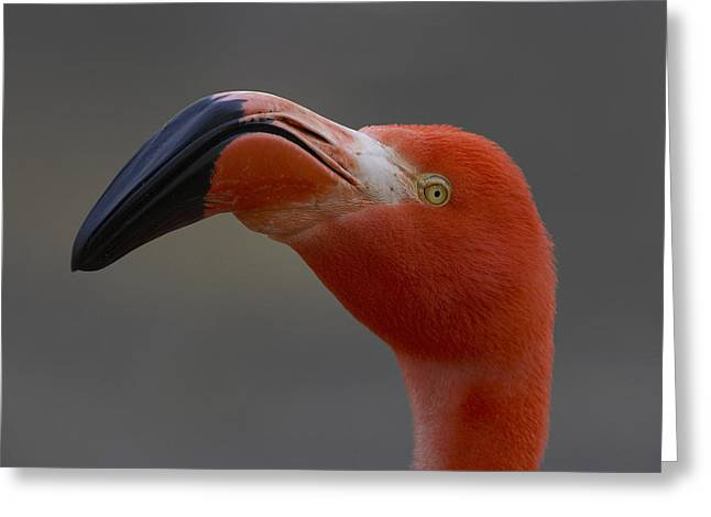 Greater Flamingo Greeting Cards - Greater Flamingo Portrait Greeting Card by San Diego Zoo
