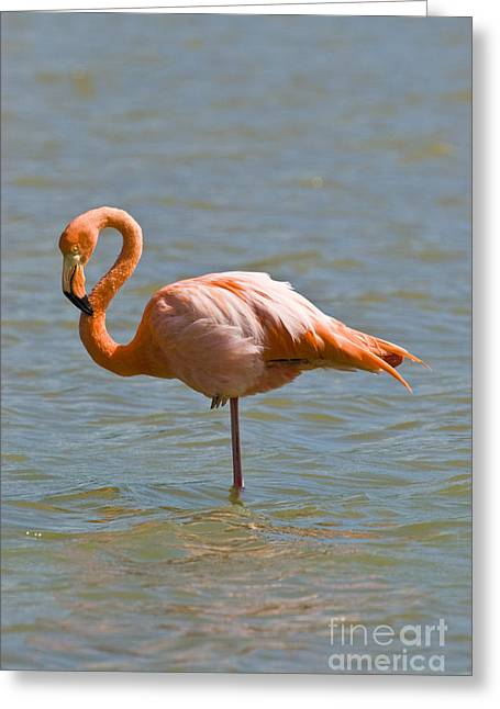 Greater Flamingos Greeting Cards - Greater Flamingo Preening In Lagoon Greeting Card by William H. Mullins
