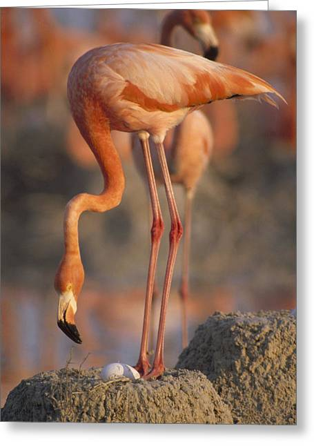 Greater Flamingo Greeting Cards - Greater Flamingo With Egg At Nest Greeting Card by Gerry Ellis
