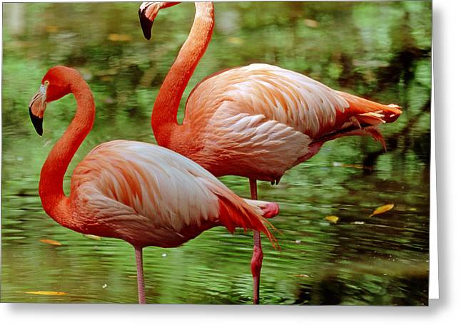 Greater Flamingo Greeting Cards - Greater Flamingoes Phoenicopterus Ruber Greeting Card by Millard H Sharp