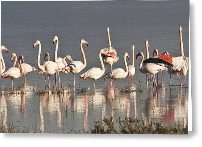 Water Fowl Greeting Cards - Greater Flamingos at Laguna de la Fuente de Piedra Greeting Card by Heiko Koehrer-Wagner
