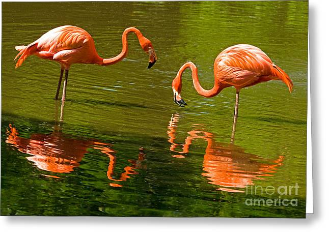 Greater Flamingo Greeting Cards - Greater Flamingos Greeting Card by Millard H. Sharp