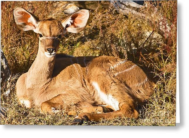 Greater Kudu Calf Greeting Card by Millard H. Sharp