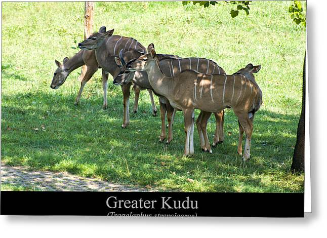Greater Kudu Greeting Card by Chris Flees