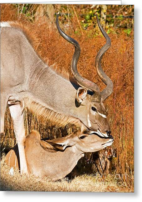 Hooved Mammal Greeting Cards - Greater Kudu Male And Female Greeting Card by Millard H. Sharp