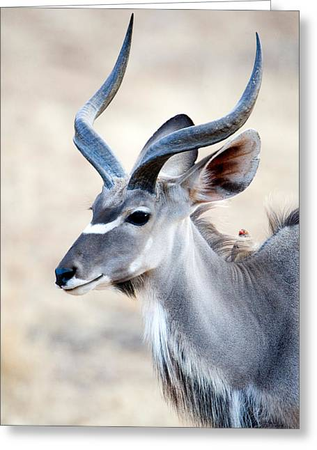 Rift Greeting Cards - Greater Kudu Tragelaphus Strepsiceros Greeting Card by Panoramic Images