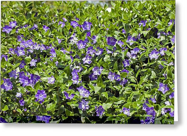 Vinca Flowers Greeting Cards - Greater Periwinkle (Vinca major) Greeting Card by Science Photo Library