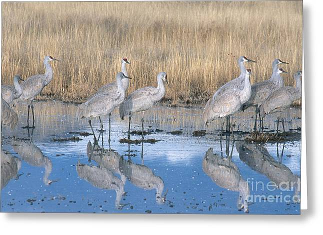 Crane Migration Greeting Cards - Greater Sandhill Crane Flock In Roost Greeting Card by William H. Mullins