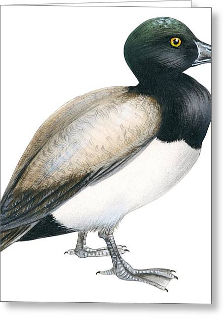 Ducklings Greeting Cards - Greater scaup Greeting Card by Anonymous