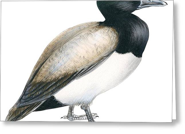 Greater scaup Greeting Card by Anonymous