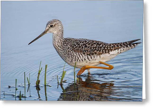 Wildlife Refuge. Greeting Cards - Greater Yellowlegs Greeting Card by Angie Vogel