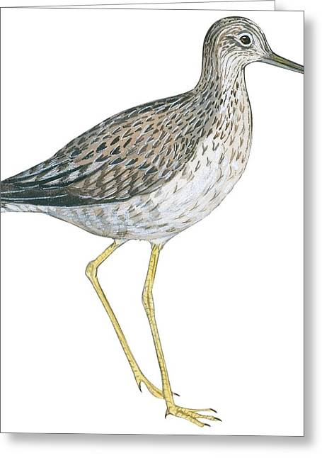 Zoology Greeting Cards - Greater yellowlegs  Greeting Card by Anonymous