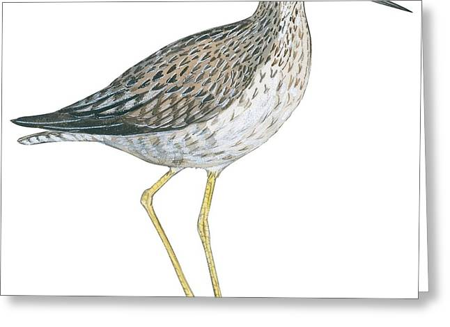 Greater yellowlegs  Greeting Card by Anonymous