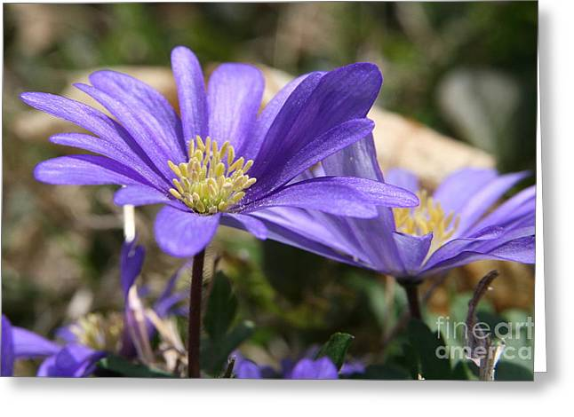 Wildflowers Greeting Cards - Grecian Windflower  Greeting Card by Neal  Eslinger
