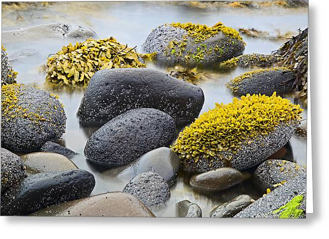 Sea Plants Greeting Cards - Green Algae Or Seaweed Greeting Card by Dirk Ercken