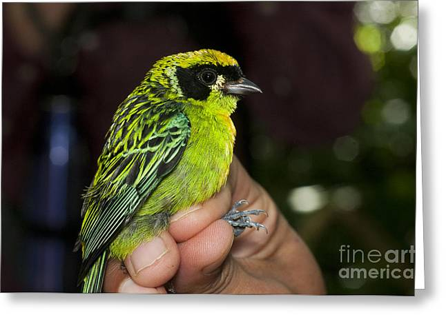 Passeriformes Greeting Cards - Green-and-gold Tanager Greeting Card by William H. Mullins