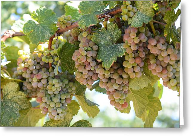 Grapevine Autumn Leaf Greeting Cards - Green and Pink Grapes on the Vine Greeting Card by Brandon Bourdages