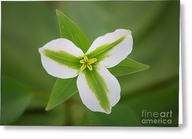 Forest Floor Greeting Cards - Green and White Trillium Greeting Card by Todd Bielby