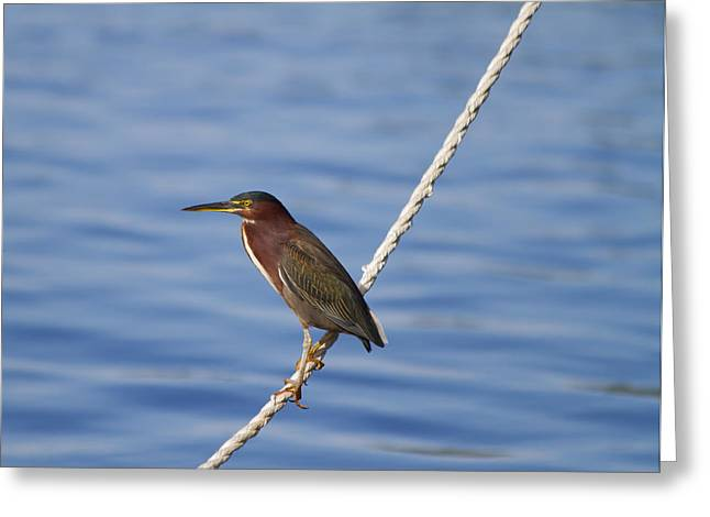 Water Fowl Greeting Cards - Green Back Heron Greeting Card by Kim Hojnacki