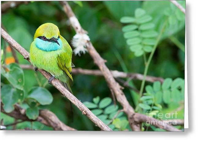 Reserve Greeting Cards - Green Bee-Eater Merops orientalis Greeting Card by Christina Rahm