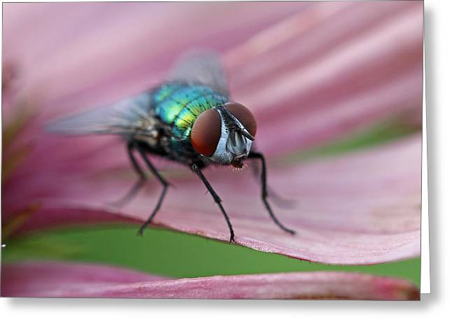 Green Bottle Fly Greeting Card by Juergen Roth