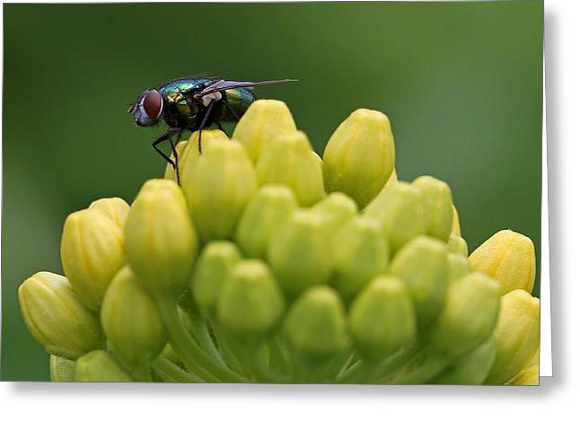 Green Bottle Fly Macro Greeting Card by Juergen Roth