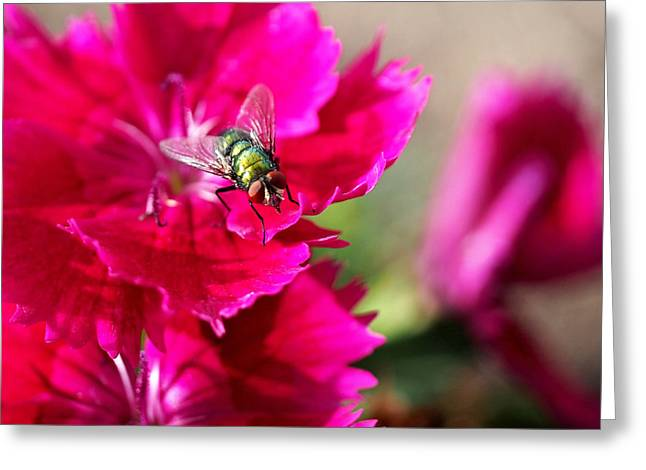 Botanical Art Greeting Cards - Green Bottle Fly on Dianthus  Greeting Card by Rona Black